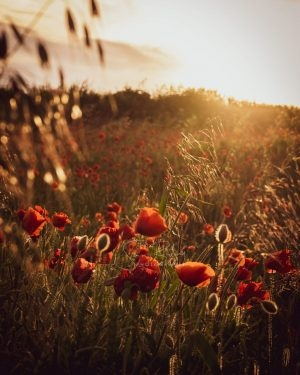 Golden Hour Poppies